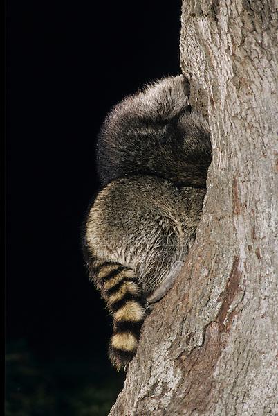 Northern Raccoon, Procyon lotor, two adults at tree hole in Oak Tree at night, Lake Corpus Christi, Texas, USA
