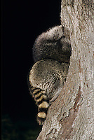 Northern Raccoon, Procyon lotor, two adults at tree hole in Oak Tree at night, Lake Corpus Christi, Texas, USA