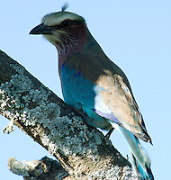 The bright blue of a lilac breasted roller is unmistakable. The Serengeti National Park, Tanzania.