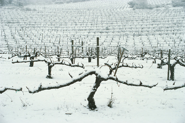 Snow on Chappelet vineyard.  Chenin Blanc vine. Winter 2001