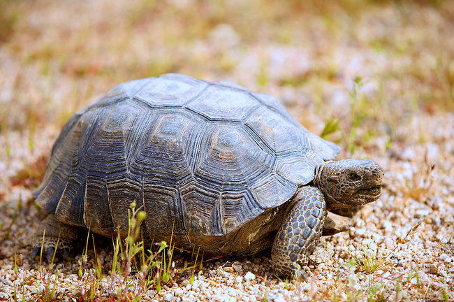 Desert Tortoise (gopherus agassizii) in it's native habitat in the Western Mojave Desert of California
