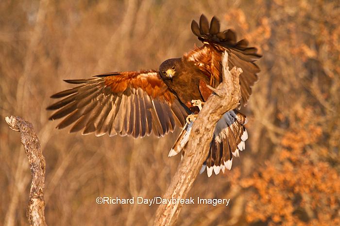 00811-00404 Harris' Hawk (Parabuteo unicinctus) landing on  tree Starr County, TX
