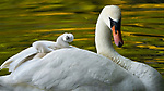 """These heartwarming images show a content cygnet as it joyfully hitches a ride under the protection of its mother. <br /> <br /> These adorable images were taken by nature photographer John Fan in a Chicargo suburb.<br /> <br /> Mr Fan, a medical physicist from Chicago, said """"I have been photographing the swans and cygnets in my local neighbourhood every year for the last decade. There is a small window of opportunity where the young cygnets will get so tired that they'll take a nap on the back of mum.""""<br /> <br /> """"This young cygnet was so heartwarming to photograph, as the joyful expression on its face after it shook off water and hitched onto the back of its mother was amazing to see"""".<br /> <br /> """"These are by far the best and most intimate photographs I have captured of the swans and cygnets in all the years I've been doing it"""". <br /> <br /> Please byline: John Fan/Solent News<br /> <br /> © John Fan/Solent News & Photo Agency<br /> UK +44 (0) 2380 458800"""