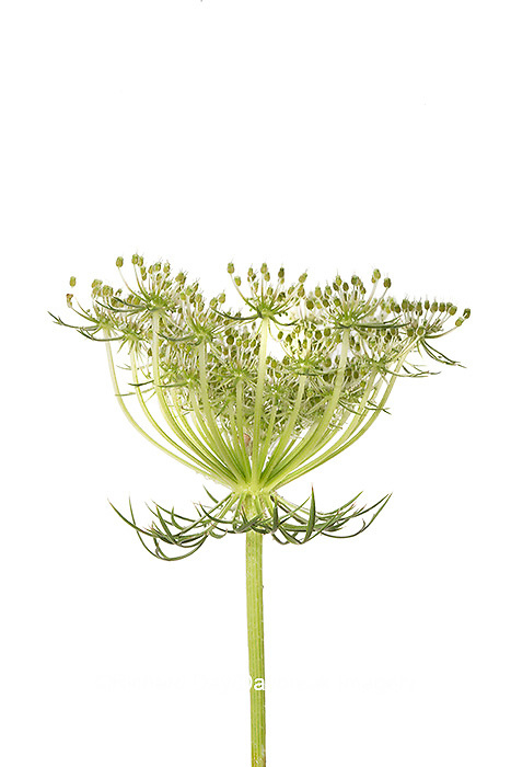 30099-00708 Queen Anne's Lace (Daucus carota) (high key white background) Marion Co. IL