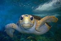 Loggerhead turtle, Caretta caretta, circumglobal, captive