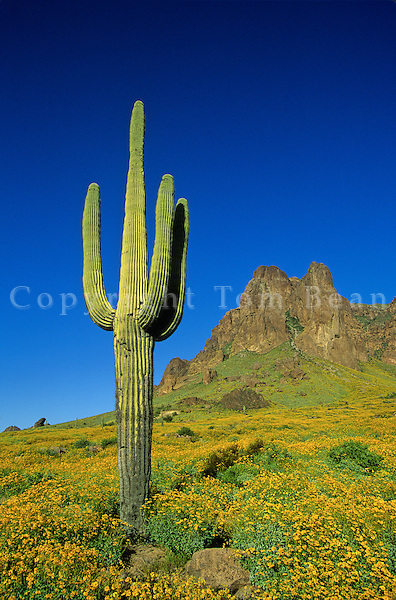 Spring in the desert, saguaro cactus and  flowering brittlebush at Tonto National Forest, Superstition Mountains, near Phoenix, Arizona, AGPix_0024