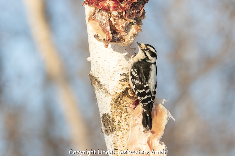 Female downy woodpecker feeding on deer scraps nailed to a birch tree.