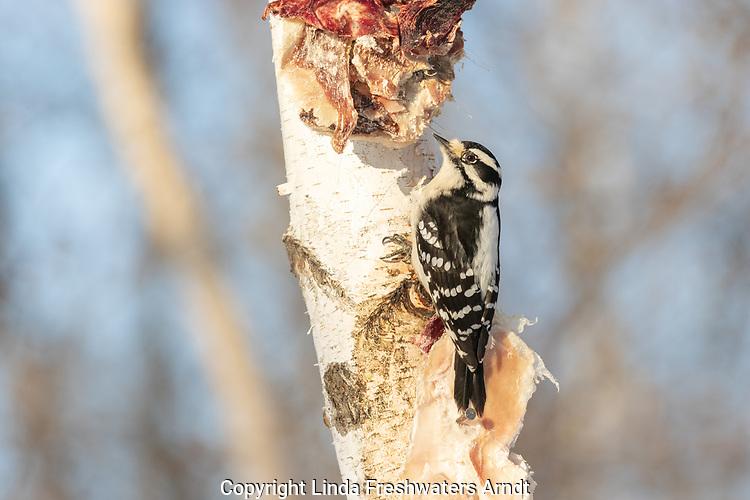 Female downy woodpecker feeding on deer scraps nailed to a birch tree.