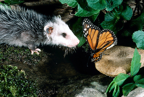 Patty possum, orphan baby possum sees her first monarch butterfly and shares a drink from  a watering hole in the garden.