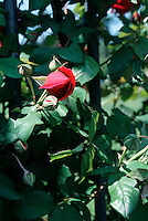 ROSES (ROSACEAE FAMILY)<br />