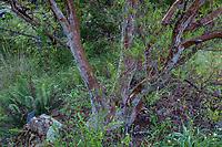 Ornithostaphylos oppositifolia - Baja California Birdbush in California native plant garden, Regional Parks Botanic Garden, Berkeley, California