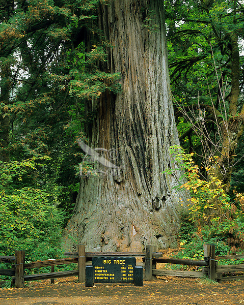"California's coast redwood (Sequoia semperviren) tree.  ""Big Tree"" at Prairie Creek State Park, CA."