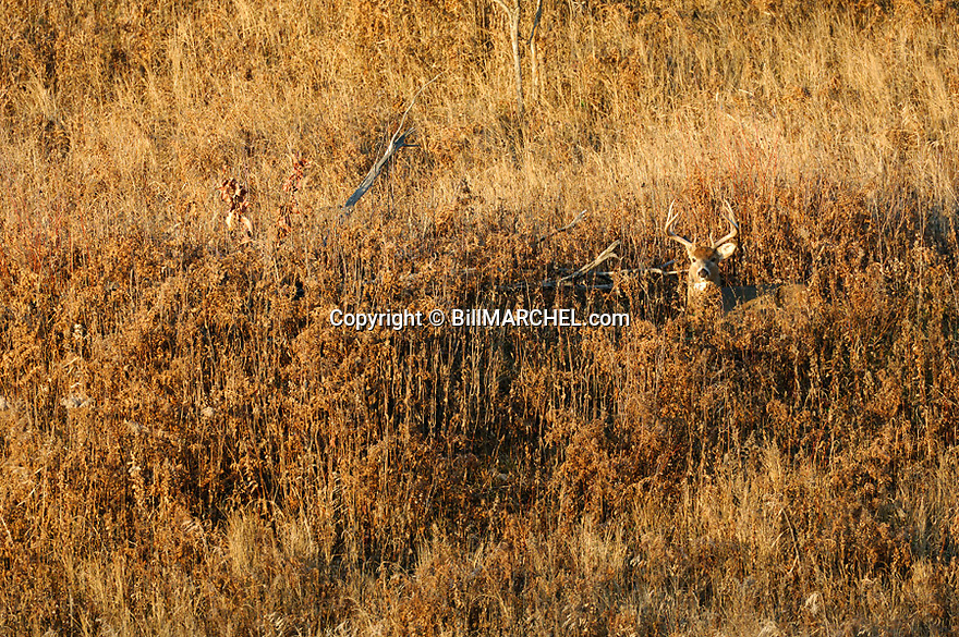 00274-305.14 White-tailed Deer Buck (DIGITAL) with large 10-pt antlers is bedded in weedy field during fall.  Hunt, hunting, whitetail.  H2L1