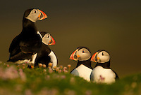 Atlantic Puffins Fratercula arctica amongst pink sea thrift, Fair Isle, Shetland Isles, UK