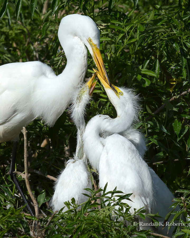 Great Egret mom and chicks, Osceola County, Florida