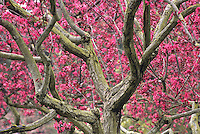 Malus 'Liset'-pink Flowering Crabapple tree in San Francisco Botanical Garden