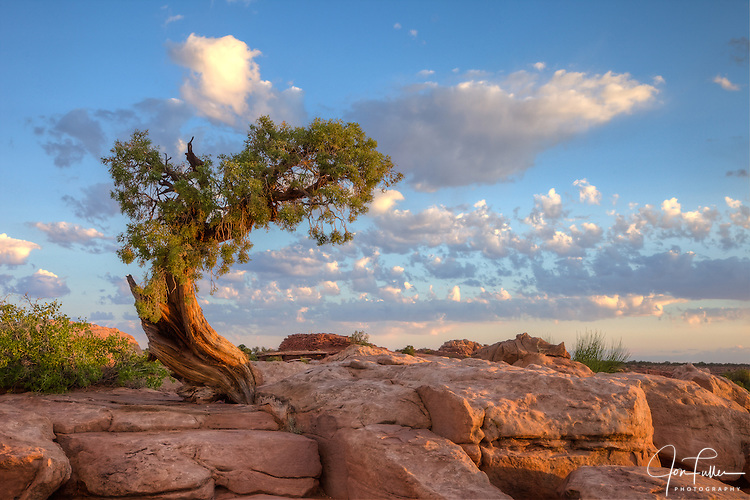 Sunrise on a juniper tree on sandstone at Dead Horse Point State Park, near Moab, Utah, USA.