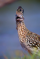 576017009 a wild greater roadrunner geococcyx californianus with a surprised look on a private ranch in the rio grande valley of south texas
