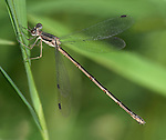 Southern Spreadwing Damselfly, Lestes australis, - Or Maybe a Slender Spreadwing, Lestes rectangularis,  Resting On A Blade Of Grass