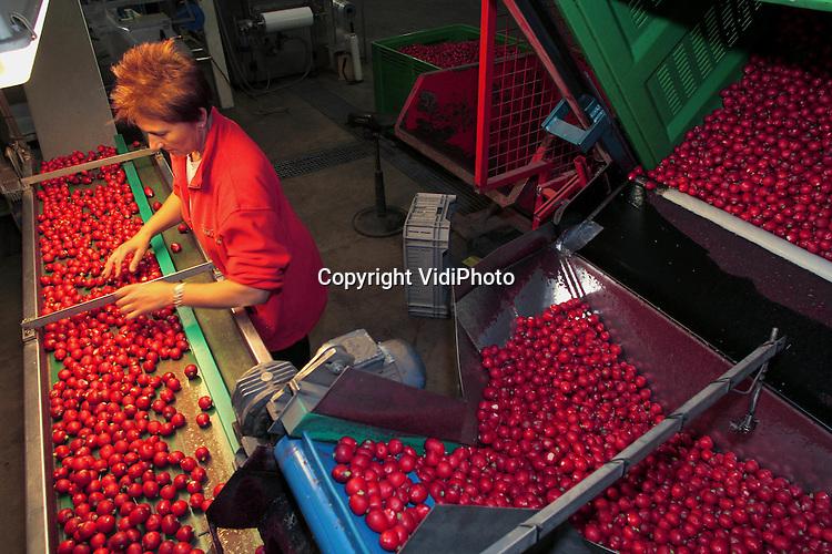 """Foto: VidiPhoto..MELDERSLO - Personeel van Cornelissen Fresh Food BV uit het Limburgse Melderso oogst en verwerkt dinsdag verse radijs. Het voorjaar betekent extra drukte voor de radijsproducent. Cornelissen is een van de grootste radijstelers Nederland en exporteert met name naar Duitsland en Oost-Europa. Per jaar wordt zo'n 1,5 kilo radijs verwerkt. Losse en verpakte radijs neemt op dit moment in populariteit toe, ten koste van de bossen radijs. Het produkt zal de komende weken door de 'slechts' tien Nederlandse radijstelers vooral worden gepresenteerd als een """"gezond snoepje voor de lijn."""""""