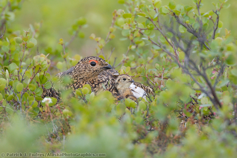 Female ptarmigan with chick on summer tundra, Denali National Park, Alaska