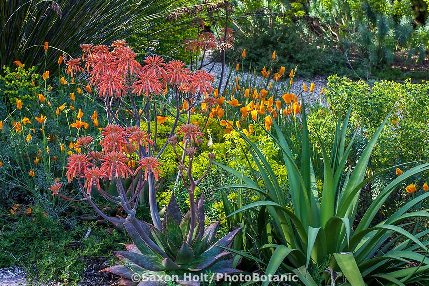 Aloe maculata (aka A. saponaria) Soap aloe or zebra aloe flowering succulent with poppies and euphorbia; McAvoy Garden - California summer-dry garden; Ground Studio Landscape Architecture