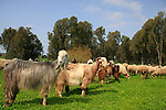 Israel, Sharon region, goats and sheep in Park Hasharon