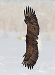 American Bald Eagle, Northern Utah