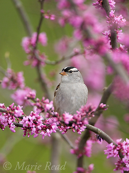 White-crowned Sparrow (Zonotrichia leucophrys) perched in flowering eastern redbud in spring, New York, USA