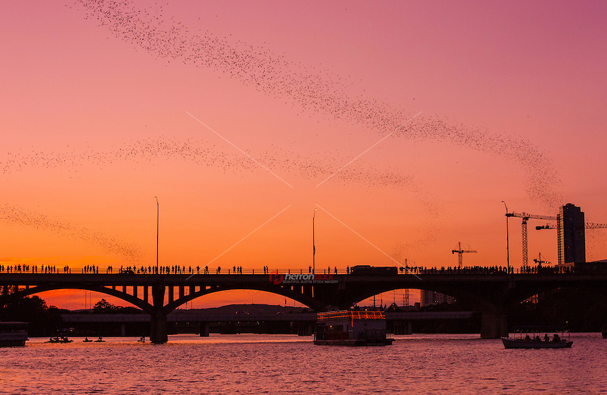 The bats of the Congress Ave. Bridge in Austin, Texas also help keep Austin's insect population at bay and in check. Eating roughly 20-30 thousand pounds of insects on each night flight, nearly one and a half million bats in Austin call the South Congress Bridge home during this time period. Most bat colonies of a million or more can consume up too 250 tons of a variety of insects in a given night. Drawn to areas with water access and warm conditions, most bats in Austin delight in moths, crickets, grasshoppers, and Texas-size mosquitoes that the South Congress Bridge offers in great number.