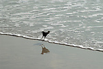 This grackle is one jump ahead of the incoming wave after grabbing a small shellfish.