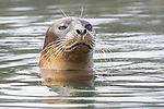 USA, California, Monterey, Elkhorn Slough, harbor or Pacific common seals, Phoca vitulina richardsi