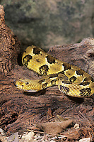 467450006 a captive timber rattlesnake crotalus horridus horridus explores a large fallen log species is a venomous pit viper found in forests and rock outcrops in the east and southeastern united states