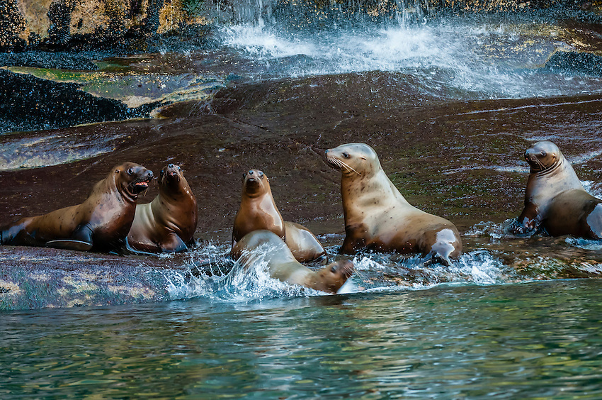Sea lions on a rock along the 2000 foot deep Lynn  Canal between Haines and Juneau, Inside Passage, southeast Alaska USA.
