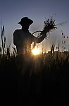 A Palestinian farmer harvests wheat during harvest season, on a farm near the West Bank town of Nablus, on May 9, 2012. Photo by Nedal  Shtieh