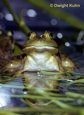 FR02-003z  Bullfrog - adult in pond - Lithobates catesbeiana, formerly Rana catesbeiana
