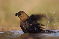 Brown-headed Cowbird, Molothrus ater, male bathing, Uvalde County, Hill Country, Texas, USA
