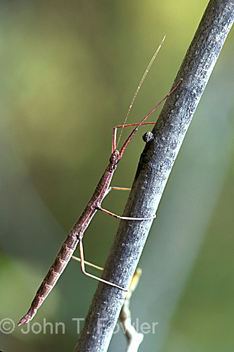 Northern walking stick Orthoptera Diapheromera femorata insect<br />