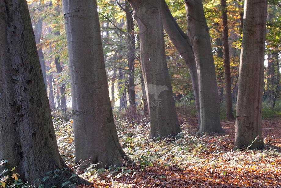 Beuk (Fagus sylvatica),bomen in herfstig bos