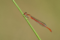 341100005 a wild male desert firetail damselfly telebasis salva perches on a plant stem near empire creek las cienegas natural conservation area pima county arizona united states