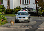 Coyote (Canis latrans) sub-adult smelling road with car approaching, Gloucester, Cape Ann, eastern Massachusetts