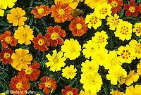 HA22-201x  Disco Marigold - Tagetes patula