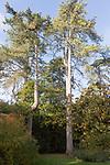 Crimean Pine tree, Pinus Nigra, National arboretum, Westonbirt arboretum, Gloucestershire, England, UK
