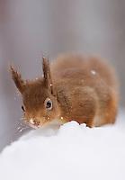 Red squirrel(Sciurus vulgaris)  in snow-laden forest. Cairngorms National Park, Scotland.