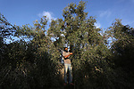 A Palestinian man picks up olives during a harvest season at a farm in Deir al-Balah in the southern Gaza Strip, on October 8, 2019. Photo by Ashraf Amra