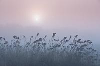 Diffused sun peeking through morning fog and tall reeds in a farmer's field