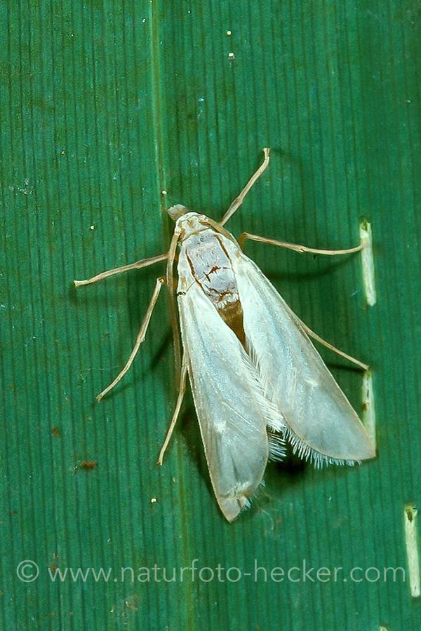 Weißer Wasserzünsler, Acentria ephemerella, watermilfoil moth, water veneer, Zünsler, Crambidae
