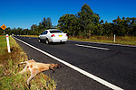 Dead kangaroo, killed by car or truck, New South Wales, Australia.