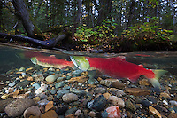 RY0638-D. Sockeye Salmon (Oncorhynchus nerka) have, after hundreds of miles of arduous travel upriver from the ocean, finally reached the spawning grounds in the middle of lush forest. Adams River, British Columbia, Canada.<br /> Photo Copyright &copy; Brandon Cole. All rights reserved worldwide.  www.brandoncole.com