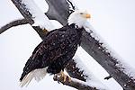 """""""Bald Eagle on the Chilkat River"""", Alaska"""
